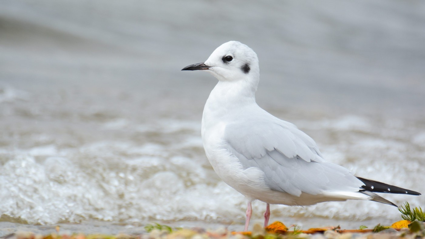 Bonapartes gull white siting on sand by the water