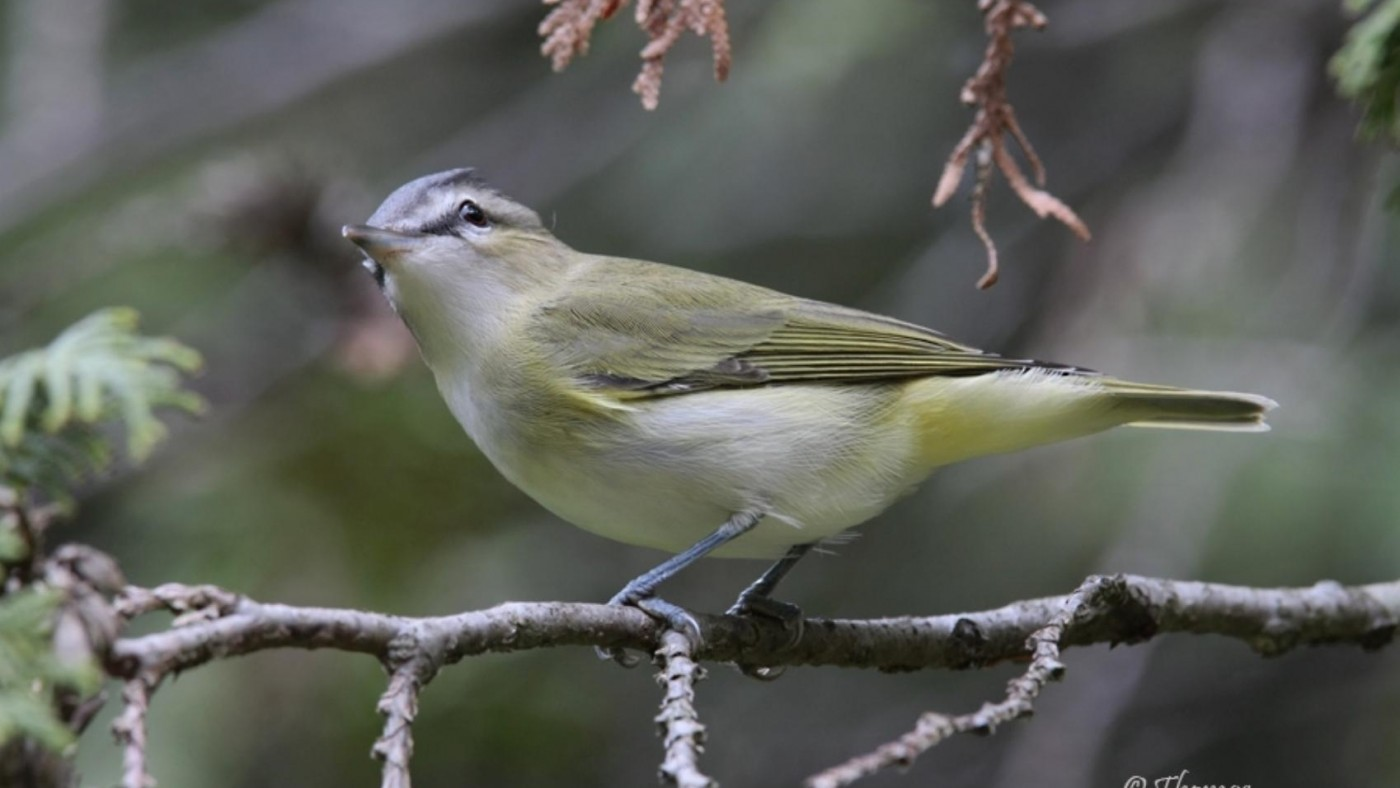 Photo of yellow and white vireo bird