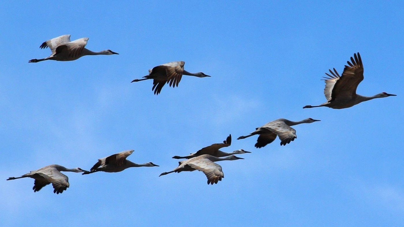 Birds surrounded by blue skies during their spring migration