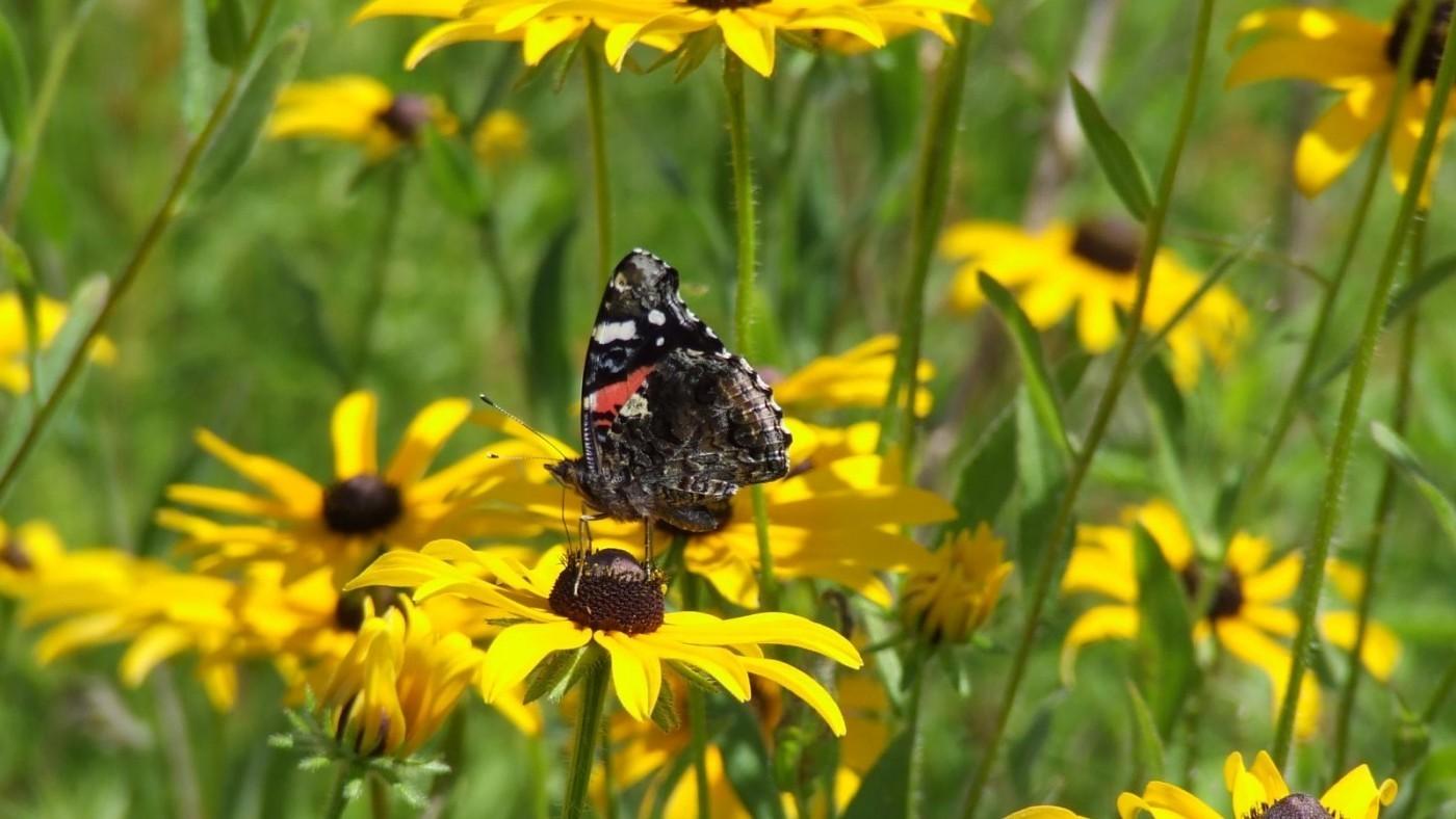Butterfly on Brown-Eye Betty