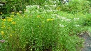 restoration using native plants and pollinators
