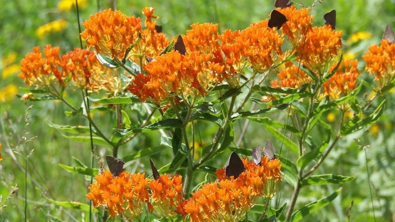 Pollinators on orange milkweed