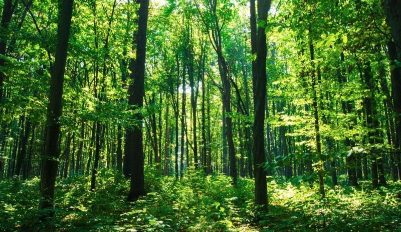 Tall trees in forest.