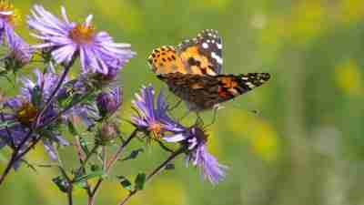 Photo of Monarch Butterfly on New England Aster