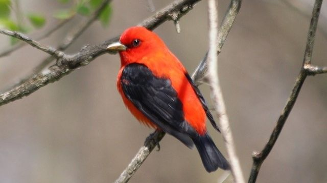 Photo of red and black migratory bird