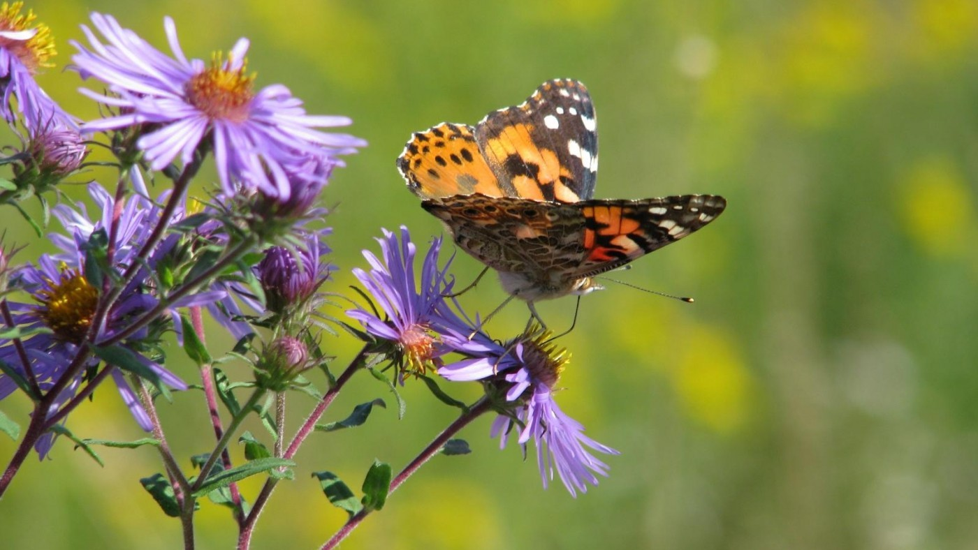 Photo of Monarch Butterfly on purple New England Aster